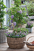 Small wisteria frutescens (wisteria) at the trellis in basket