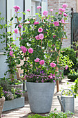 Rosa 'Gertrude Jekyll' (English fragrance rose) on the trellis, Dianthus
