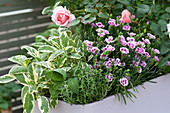 Pastel purple box with roses, dianthus 'Pink Kisses' (carnation)