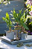 Convallaria majalis in tin pots on wooden tray