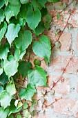 Wilder Wein rankt entlang einer Backsteinmauer