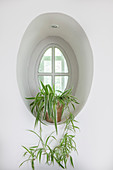 Spider plant (Chlorophytum comosum) in oval window niche
