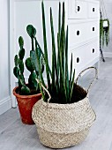 Succulent in a basket and cactus in a pot in front of a white chest of drawers