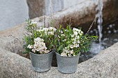 Posies of waxflowers and twigs in small zinc pots