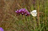 Patagonisches Eisenkraut (Verbena bonariensis) mit Schmetterling im Garten