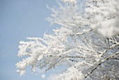 Branches covered in ice crystals against blue sky