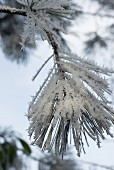 Ice crystals on pine branch