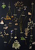 Pressed plants and flowers mounted on black background