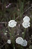 Wild carrot flowers