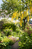 Flowering laburnum, herbaceous borders and gravel path in summery garden