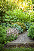 Gravel path edged with London pride and hostas leading to flowering laburnum