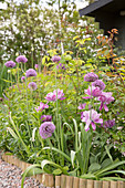 Allium 'Mercurius' and purple tulips in flowerbed