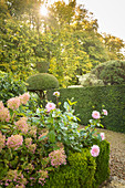 Hydrangeas and dahlias in topiary garden (Les Jardin de Castillon, France)