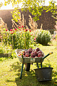 Freshly picked apples in wheelbarrow in sunny garden