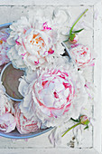 Peony flowers and buds in old Bundt tin on shabby-chic surface