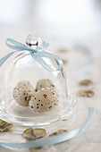 Three quail eggs under small glass cover with blue ribbon