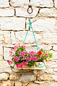 Pink geraniums in fruit crate hung in front of stone wall