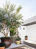 Olive tree on the roof terrace in Moroccan style