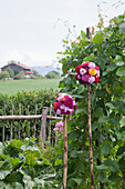 Handmade spherical arrangements of dahlias, phlox and hollyhocks next to garden fence