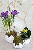 Crocus, kalanchoe and moss in faux egg shells