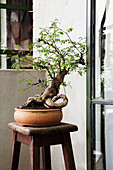 Bonsai tree in terracotta pot on wooden stool