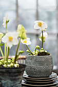 White hellebores in grey pots