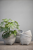 Potted aralie in stacked basket against grey wall