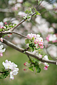 Blossom on branch of fruit tree