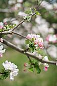 Blossom on branch of fruit tree