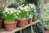 Flowering narcissus in terracotta pots on potting table