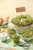 Cress growing in bundt cake tin, cups and bowls
