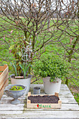 Various plants in buckets and bowl and wooden crate of soil on garden table