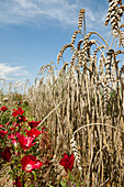 Red farewell-to-spring between rows of corn