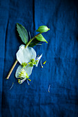 Hellebore with dropped petals on blue surface