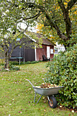 Windfall fruit and leaves in wheelbarrow in autumnal garden with wooden house in background