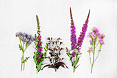 Various purple and pink summer flowers incl. scorpionweed (Phacelia)