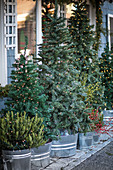 Christmas trees decorated with fairy lights in metal tubs