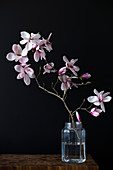 Sprig of flowering magnolia in jar of water
