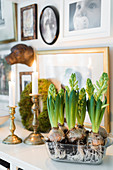 Hyacinths and candles on surface in front of framed photos