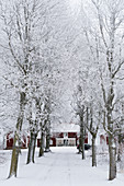 Avenue of snowy trees leading to red Swedish house