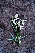 Several snowdrops on rough stone surface