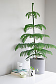 Potted Norfolk Island pine against grey wall