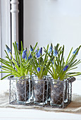 Grape hyacinths planted in glass vases in wire basket