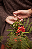 Hand holding sprig of rowan berries