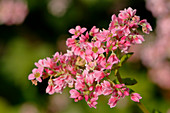 Pink Flowers Of Buckwheat