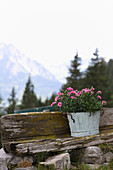 Flowering pinks in pot against Alpine backdrop