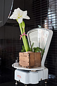 White amaryllis in wooden box on white kitchen scales
