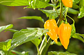 Yellow chilli peppers growing on plant