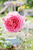 English Rose 'jubilee Celebration'