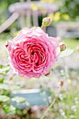 English Rose 'jubilee Celebration'